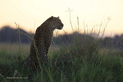 4J7A4673 Léopard (Puce55-Elisabeth,) Tags: léopard masai mara kenya animal félin nature wildlife