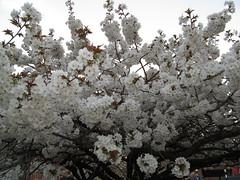 Spring blossom in Reading (fyfester) Tags: blossom spring reading uk march 2019 berkshire