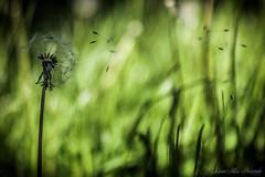 Make a Wish (leanne.hilless) Tags: dandelion seeds dandelionseeds nature naturephotography spring flower garden