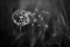Time Stands Still (leanne.hilless) Tags: dandelion blackandwhite blackandwhitephotography dandelionseeds seeds nature naturephotography