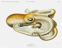 Velodona octopus vintage poster (Free Public Domain Illustrations by rawpixel) Tags: animal antique aquatic art book carl carlchun cc0 chun creativecommons0 creature decor decoration design drawing expedition eyes free germandeepseaexpedition illustration images life marine mediterranean name nautical northatlantic ocean octopus old painting picture poster print publicdomain science scientific scientificexpeditions sea seafood species tentacles velodona velodonatogata vintage zoology