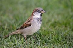 IMG_0655 Bird (Fernando Sa Rapita) Tags: canon canoneos dunnottar eos6d escocia scotland animal ave bird naturaleza nature pajaro