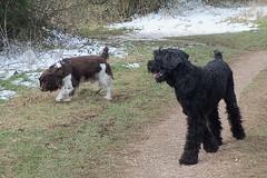 Benjy and Louis (billnbenj) Tags: benjy spaniel springerspaniel dog barrow cumbria