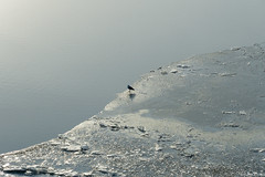 Alone on the Ice (Patches Photo) Tags: winter ice bird waterfowl river frozen frost cold