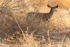 Bosque Trip on 1:14:19 (phicks172) Tags: bosquetripon11419 dsc3830 bosquedelapache muledeer mammal deer nature nm usa