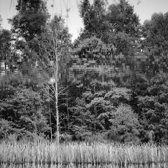 Tree waves (dirojas) Tags: leica m240 90mm summicron huilohuilo chile reflection abstract tree water bushes