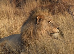 Score One More for the Lions (The Spirit of the World ( On and Off)) Tags: lion malelion bigcat wildlife safari africa southafrica grasses tallgrasses krugerpark nationalpark gamedrive predator camo camouflauge southernafrica mane sighting feline
