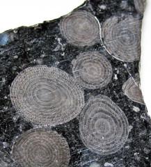 foraminiferan images