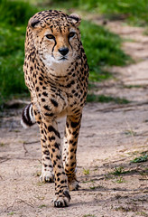 Drifting Cheetah.. (mickb6265) Tags: chester chesterzoo cheshire uk england cheetah bigcat