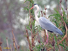 Garza real (Ardea cinerea) (16) (eb3alfmiguel) Tags: aves acuaticas ciconiiformes ardeidae garza real ardea cinerea