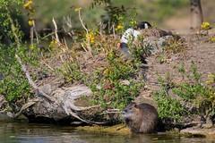 7DM22558 (chogori20) Tags: lake nature bird animal ragondin oie duck poule water shore