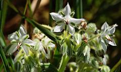 Borraja silvestre de flor blanca. (portalealba) Tags: flores portalealba riglos pentax pentaxk50