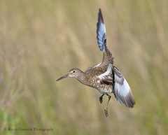 Willet series II (Kevin James54) Tags: catoptrophorussemipalmatus nikond850 tamron150600mm willet wilmington animals avian bird fortfisher kevingianniniphotocom