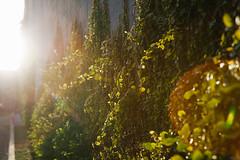Design District (Zack Huggins) Tags: canoneos30d canonefs1755mmf28isusm vscofilm pack01 dallastx designdistrict vines flare flora plant wall sunlight walkabout afternoon goldenhour gold lensflare vintagedigital bokeh dof