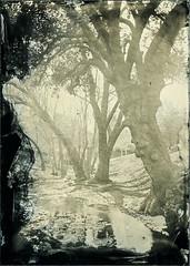(Blurmageddon) Tags: wetplatecollodion alternativeprocess epsonv700 seneca8 landscape largeformat 5x7 johncofferdeveloper oakpark california oldworkhorsecollodion blackglassambrotype ambrotype bga