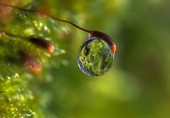 (skloi) Tags: drop droplet tropfen moos moss green grün bokeh macro