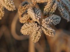 Frost (photohml) Tags: photograf winter frost gefroren frozen eis ice olympus zuiko e620 50mm macro makro nahaufnahme 2019 mzuiko esystem oly olympuse dslr spiegelreflex ft 43 fourthirds bokeh dof depthoffield