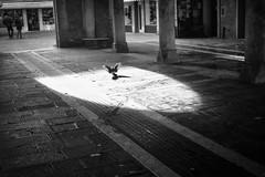 All the world's a stage (Roberto Spagnoli) Tags: backlight controluce fotografiadistrada streetphotography biancoenero blackandwhite bw lightsandshadows bird italy venice venezia flight fly animal urbanpoetry