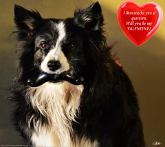I Moustache U a question (ASHA THE BORDER COLLiE) Tags: valentine heart joke funny dog picture moustache ashatheatarofcountydown connie kells county down photography