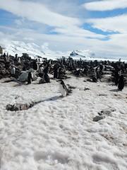 Elephant Island, Antarctic Peninsula (Mulligan Stu) Tags: antarctica elephantisland antarcticpeninsula chinstrappenguin
