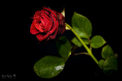 Roos (Geert E) Tags: roos rose rood rosa red rot rouge roja blackbackground