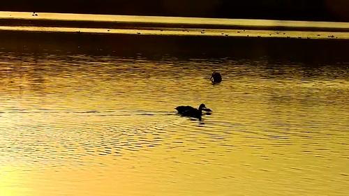 DSCN8050 oiseau aquatique 13 (oie bernache du Canada cri lac reflet jaune doré ondulation coucher de soleil) Neuville