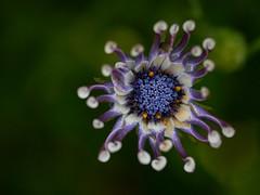 lilacs spoon - CapOne - _GEA1241 1 (gedaesal) Tags: sonya7mii gedaesalgmailcom closeup details nopeople colors flowerhead flower sigma105mmmacro