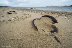 JSM_0785horseshoecrabshells1jsm (JayEssEmm) Tags: horse shoe crab chatham massachusetts ma laowa 12mm beach ocean sand jsmcelvery mcelvery