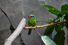 Black-browed Barbet (Megalaima oorti) (Seventh Heaven Photography) Tags: blackbrowed black browed barbet megalaimaoorti megalaima oorti bird aves megalaimidae nikond3200 chester zoo cheshire england