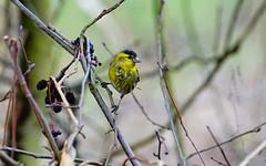 Siskin (male) (zeeltebp) Tags: copyrightbennozeelte uk bird siskin sculthorpemoornaturereservenorfolkuk carduelisspinus sonyilca77m2