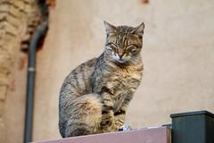 Empordà_0101 (Joanbrebo) Tags: cat gat gato animals animales fauna castellódempúries lempordà girona españa canoneos70d eosd efs18135mmf3556is autofocus