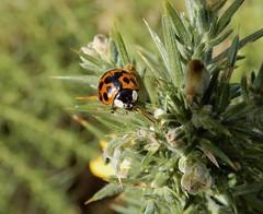 Harmonia axyridis (rockwolf) Tags: harmoniaaxyridis harlequin ladybird coccinellidae beetle coccinelleasiatique coccinelle coleoptera insect gorse haughmondhill uptonmagna shropshire rockwolf