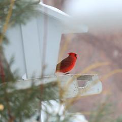 084. Cardinal (Misty Garrick) Tags: arboretum universityofminnesotalandscapearboretum landscapearboretum flowershow bird birds birding
