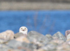 peek·a·boo - Snowy Owl (Bubo Scandiacus) (kmanoh) Tags: america animals beach bird birdwatching birding buboscandiacus cold d500 eastboston evening ma massachusetts newengland nikon northamerica northeast owl snow snowyowl usa unitedstates wildlife winter winthrop winthropbeach winthropbeachreservation