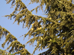 Piñas de pino. (Andres Bertens) Tags: 6788 olympusem10markii olympusomdem10markii olympusm75300mmf4867ii olympusmzuikodigital75300mmf4867ii rawtherapee pine piña