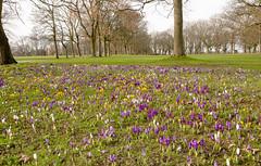 _DSC9601-3 (BobPetUK) Tags: woodhouse moor woodhousemoor leeds crocuses snowdrops spring winter 2019 park flowers