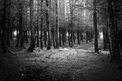 Who goes down to the woods today .... (Missy Jussy) Tags: whogoesdowntothewoodstoday woodland wood sunlight darkness trees cromptonmoor pineforest mono monochrome blackwhite bw blackandwhite 50mm ef50mmf18ll canon50mm canon5dmarkll canon5d canoneos5dmarkii fantastic50mm primelens fixedfocallength canon outdoor outside forest