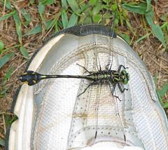 Blackwater clubtail on my Nike  (Gomphus (Gomphurus) dilatatus) (Vicki's Nature) Tags: blackwaterclubtail male big dragonfly wings club tail nikes shoe human biello georgia vickisnature canon s5 2967