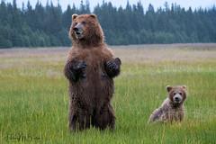 _HB36774 (Hilary Bralove) Tags: grizzlybearsbrownbearslakeclarknationalparkbearsalaska alaksa brownbears grizzlybears bear bears grizzly brownbeargrizzly bearlake clarkwildlifealaska wildlifenikonlake clark national park