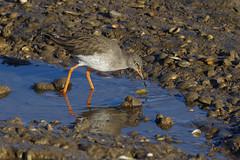 K32P9649c Redshank, RSPB Titchwell, November 2019 (bobchappell55) Tags: titchwell norfolk wild bird wildlife nature redshank wader tringatotanus