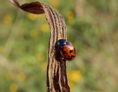 7-spot (rockwolf) Tags: 7spot ladybird beetle coleoptera coccinellidae coccinelle insect coccinelleà7points coccinellaseptempunctata radbrook shrewsbury shropshire rockwolf