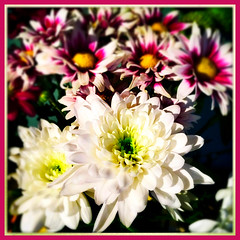 A Bright Bouquet (Julie (thanks for 9 million views)) Tags: 100xthe2019edition 100x2019 image41100 flowers bouquet chrysanthemums bright colourful sliderssunday hss 2019onephotoeachday squareformat hipstamaticapp kitchen bokeh