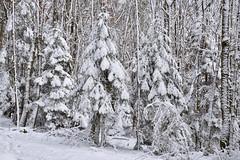 Tout de blanc vêtu (Excalibur67) Tags: nikon d750 sigma globalvision art 24105f4dgoshsma forest foréts arbres trees nature neige snow hiver winter blanc white vosgesdunord