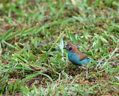 Red-cheeked Cordon-bleu (douwesvincent) Tags: uganda africa nature world outdoor natural beauty