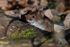 Common Mouse (fascinationwildlife) Tags: animal mammal wild wildlife winter nature natur nymphenburg park munich münchen deutschland germany bayern bavaria ground leaves mouse maus common cute curious schloss tiere wildes