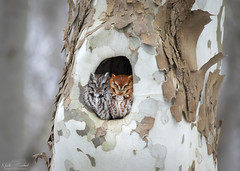 Sleeping In (Nick Scobel) Tags: pair couple mates eastern screech owl megascops asio sycamore tree red gray texture camouflage forest