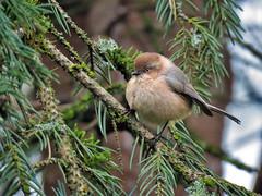 American Bushtit (Birdman of Beaverton) Tags: americanbushtit oregon sx70