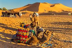 240_F_140302269_EfW4xvzTmaFYXrGK0j0ItrrlK2n9uFGz (lhoussain) Tags: camel another life sunrise sunset calm relax berber women