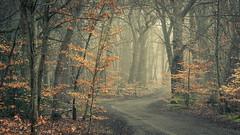 McAuliffe Drive (tobchasinglight) Tags: beechtrees buckinghamshire burnhambeeches chilterns cityoflondon corporationoflondon englishwoodland fog landscape mist oaktrees silverbirch slough stokecommon trees uk winter2019 woodland ©paulmitchell