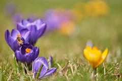Spring 2019 (ivoräber) Tags: voigtländer macro apolanthar 110 mm f25 e sony spring flower switzerland schweiz swiss systemkamera